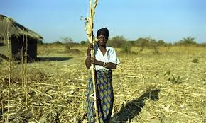 Failed maize crop, Zambia. Image: The Guardian.